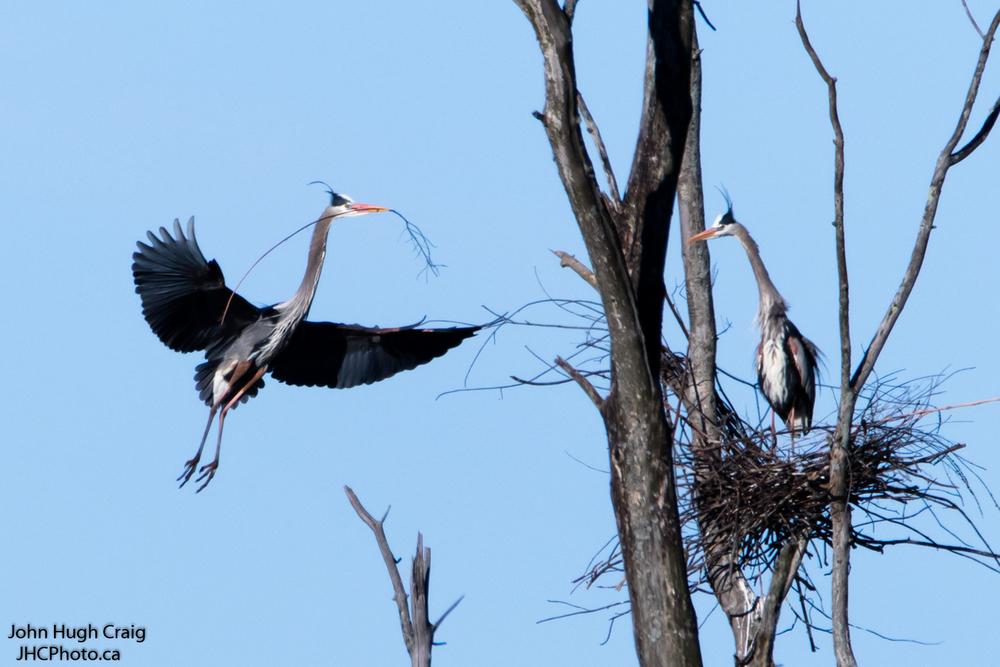 Heron Nesting 2