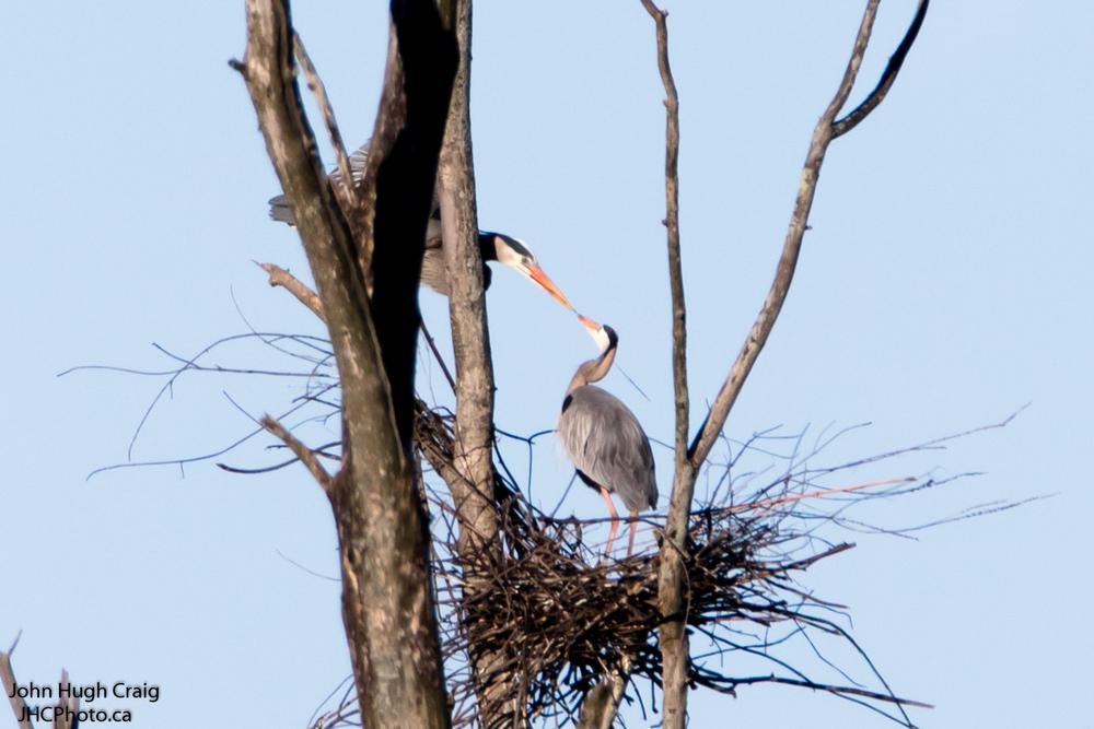 Heron Nesting 3