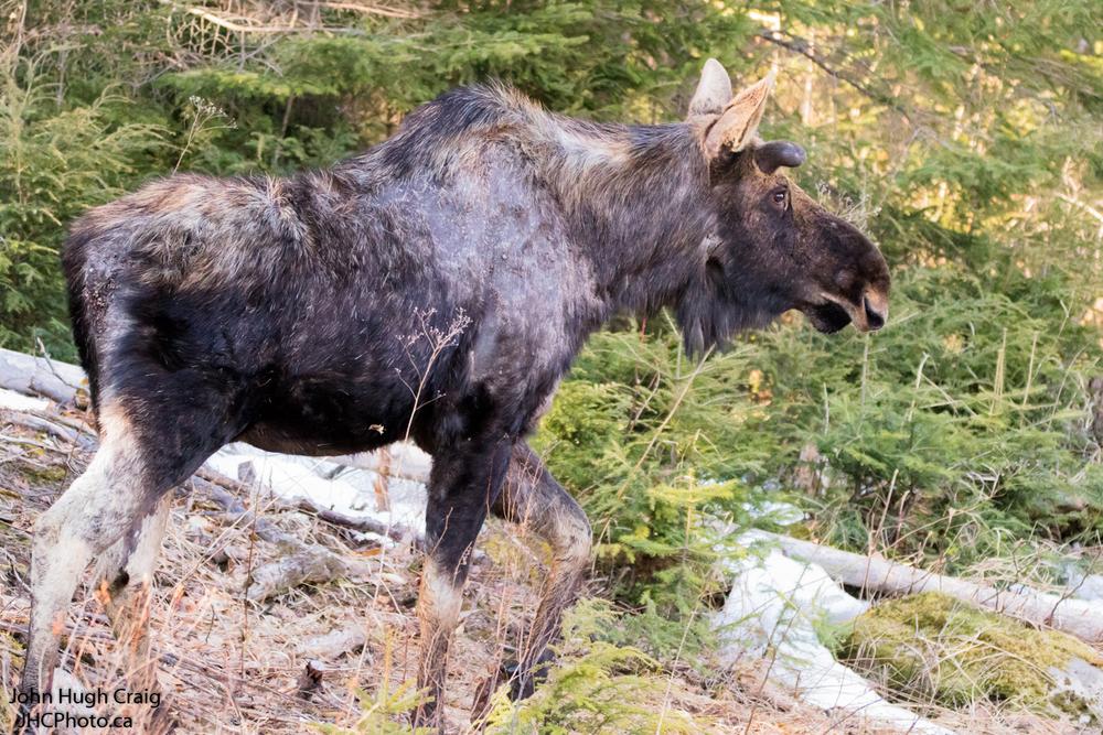 Spring Moose Walk