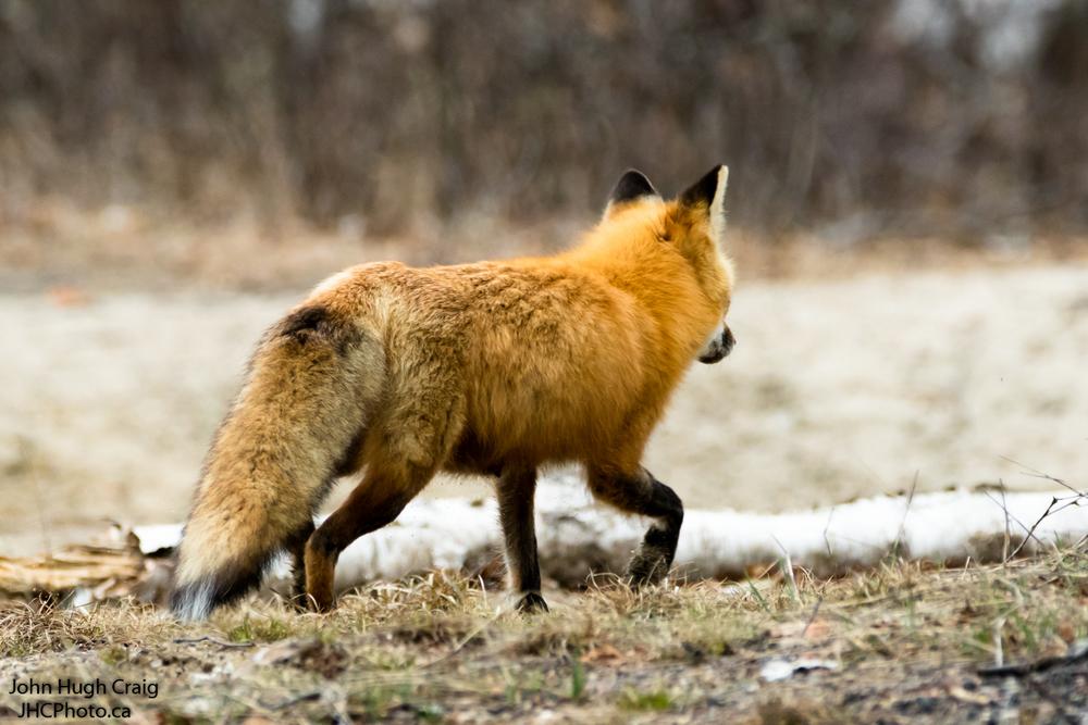 Red Fox A2