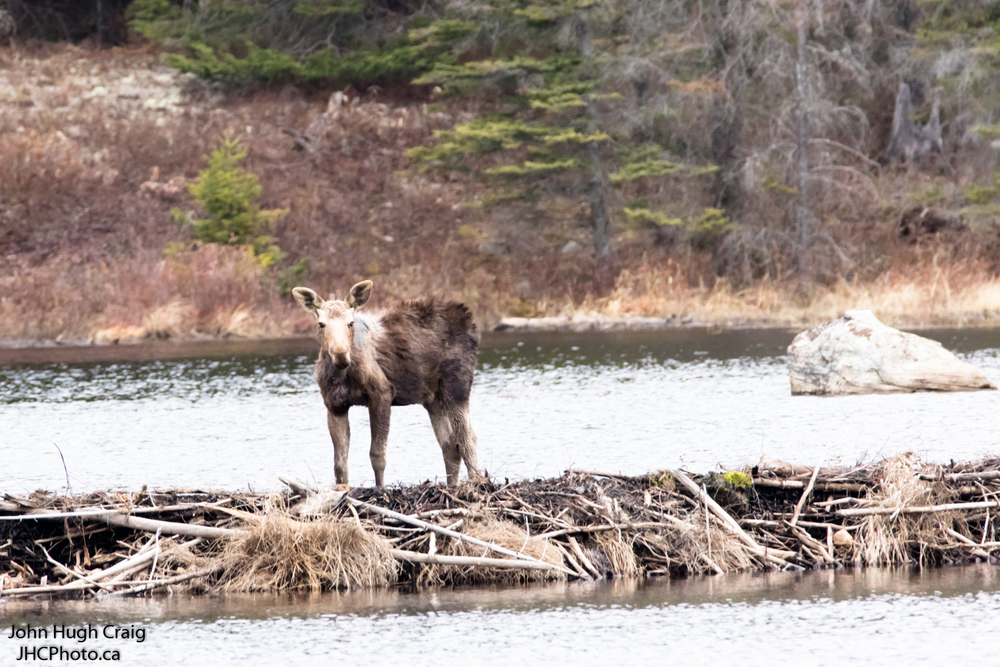 Moose on a Beaver Dam