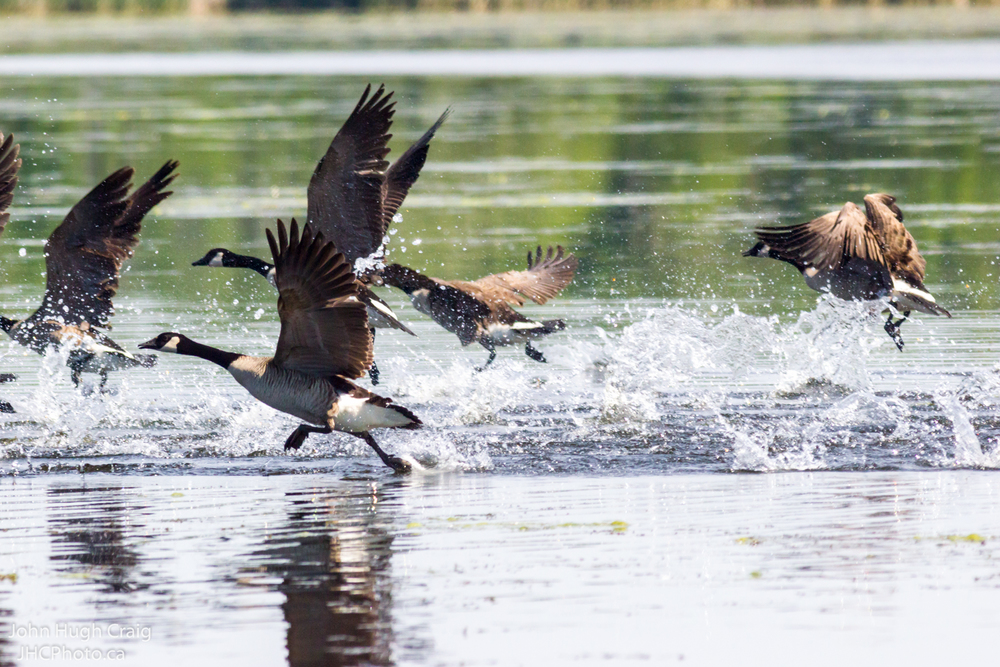 Canada Geese Take Flight