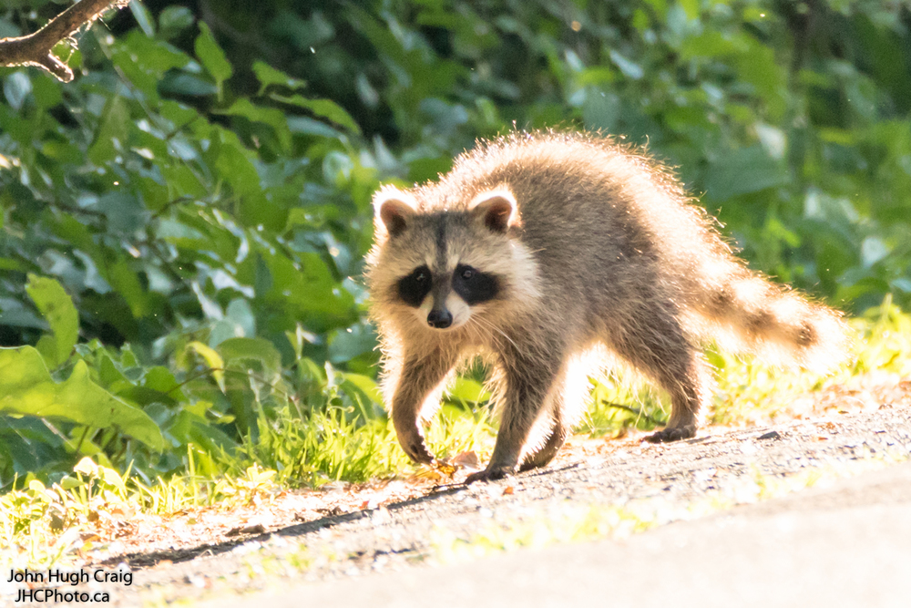 Baby Raccoon Walk