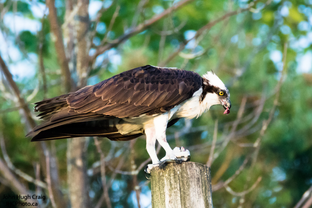 Osprey Dinner Time