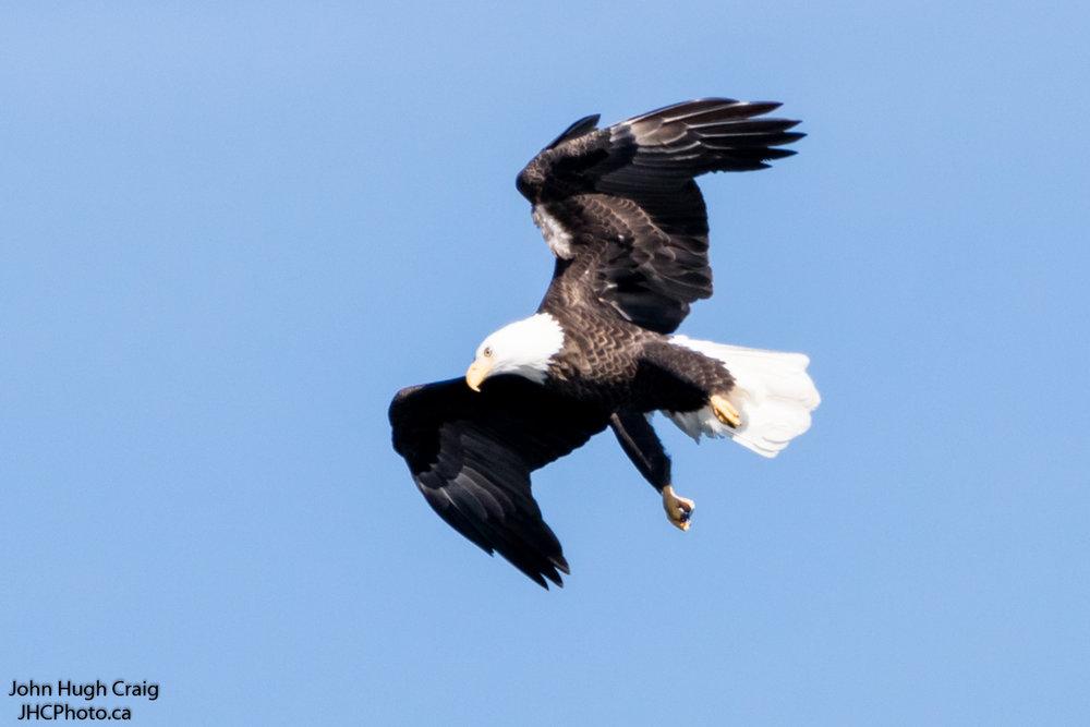 Bald Eagle Soaring over Rideau River