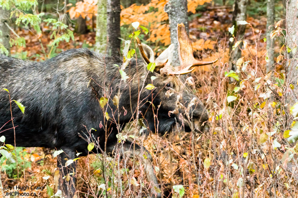 Bull Moose 2