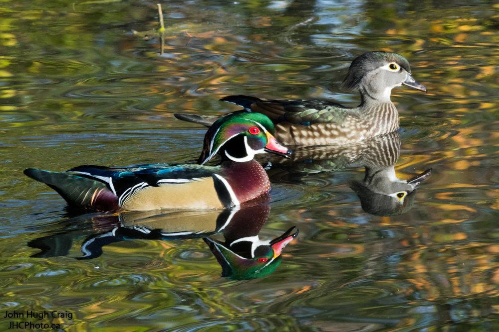 Pair of Wood Ducks Swimming