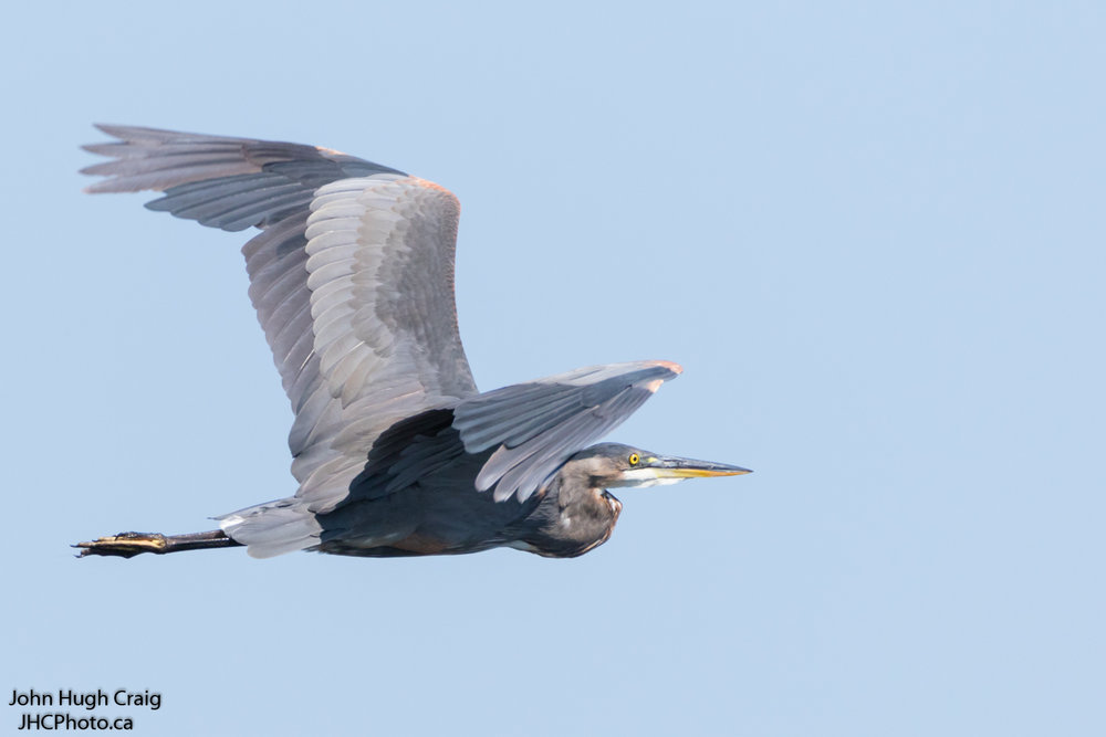 Great Blue Heron Flying Through the Sky