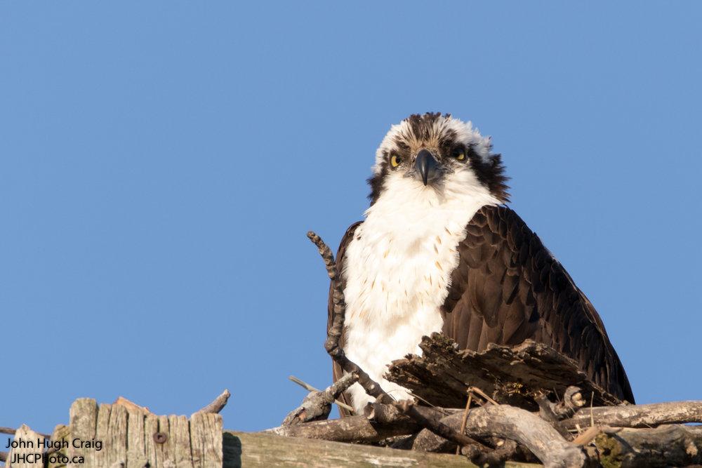 Male Osprey Sitting on the Nest