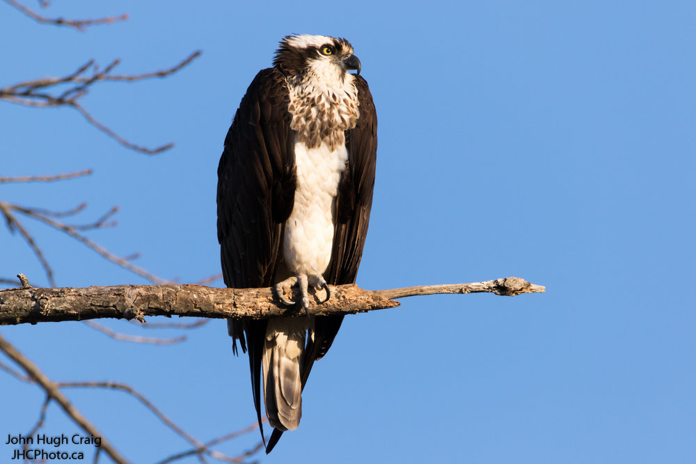 Female Osprey Perched on a Branch
