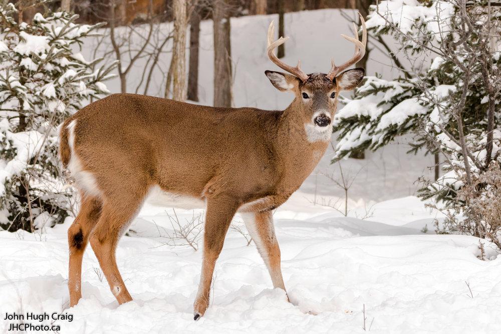 Happy New Year Deer