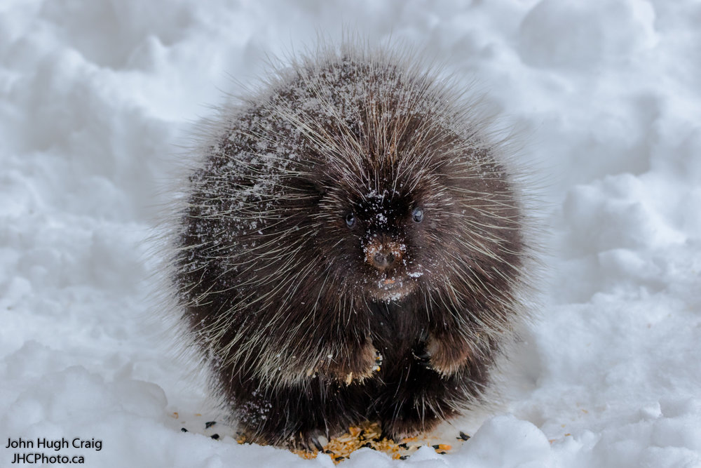 Winter Porcupine