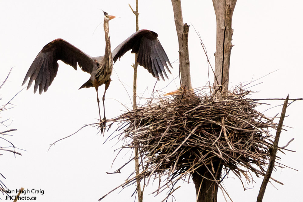 Male Heron Returning to the Nest