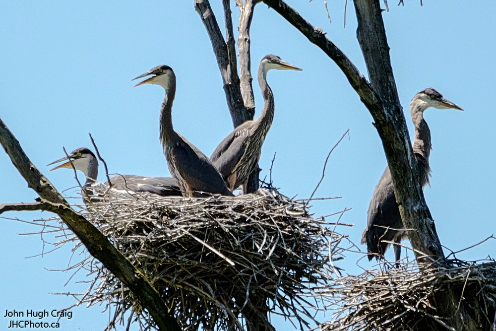 Heron Family on the Nest