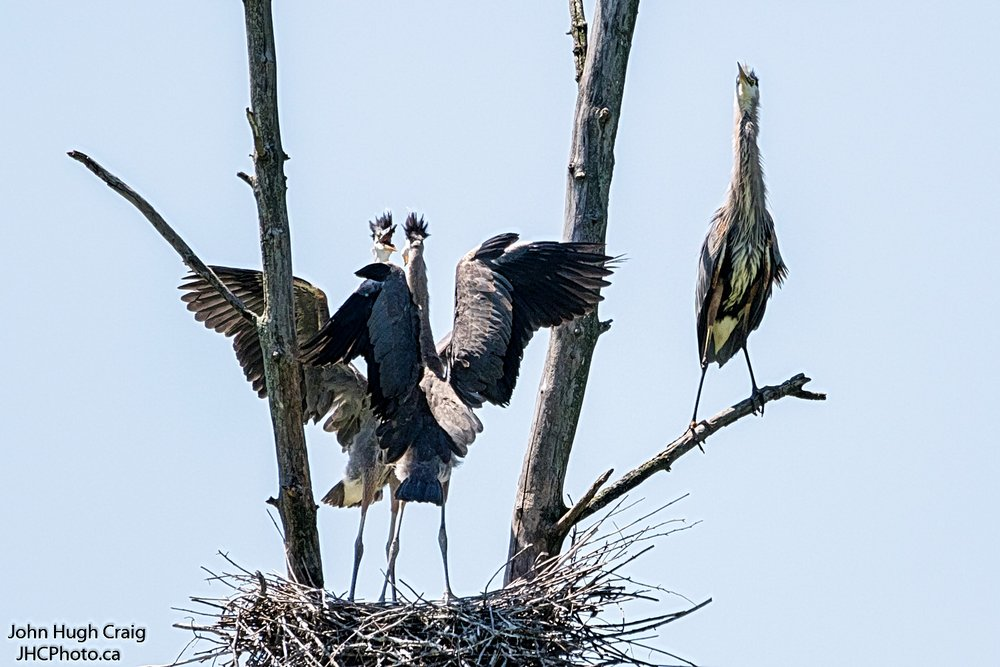 Juvenile Herons Fighting Over Who Eats First