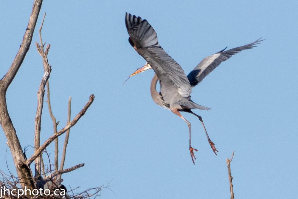 Great Blue Heron Nest Building