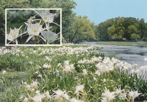 "The Cahaba Lily, Hymenocallis coronaria.   The 80's and 90's In these decades a number of LGC members gave programs on flower arranging or offered classes in the community to spread their expertise. Some had studied under Mrs. Beth McReynolds, a local flower arranger trained in the Japanese style, and they were also influenced by the large mass arrangements of English flower designer Constance Spry. Their talents became well known as they created distinctive flower arrangements for weddings and other special occasions. Characterized by the use of cut flowers with long lines of greenery often culled from a backyard garden, these loose, lovely arrangements eventually led to the descriptive term ""Birmingham style"". Mrs. McReynolds had always advised her protégés on two key points: to leave room for the butterflies to fly through their designs and always to find the best material possible, keeping clippers close at hand. Many were known to stop the car along a highway for Queen Anne's Lace or to ""borrow"" bittersweet from a nearby country club!"