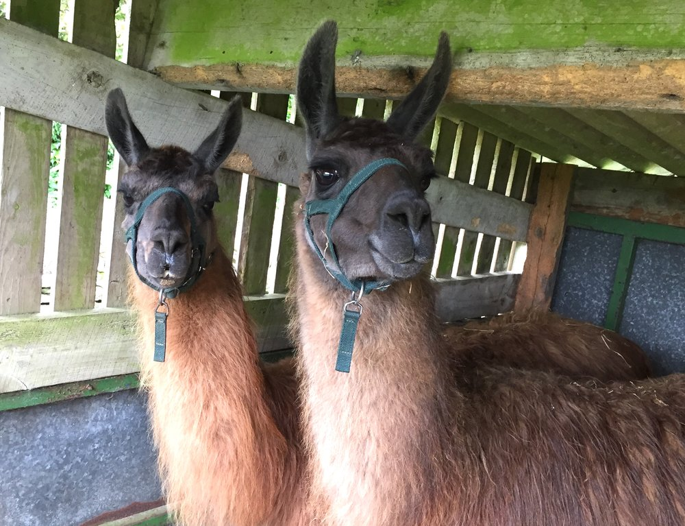Our two new Llamas, Penny & Copper, June '17