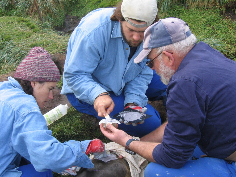 Left to right: Cheryl Tosh, Nico de Bruyn and Marthan Bester sticking a geolocating device on a yearling elephant seal.