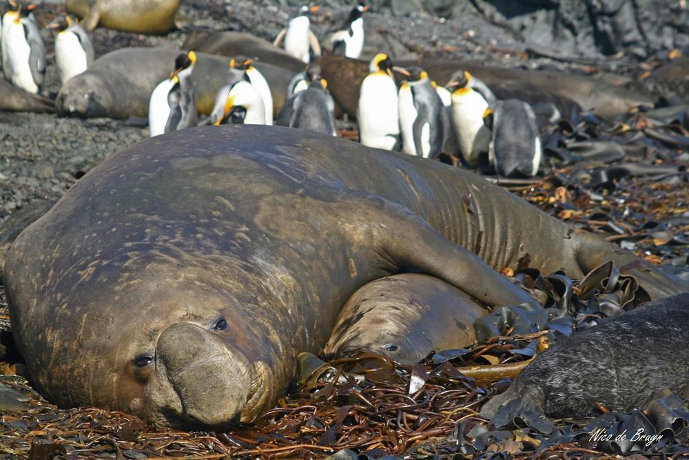 Southern elephant seals_ (42).JPG