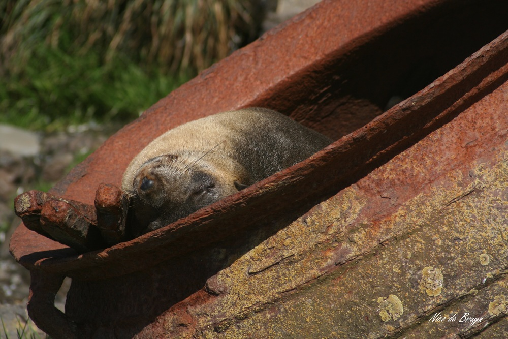 "Fortunately for all seals, the days of seal harvesting by "" Sealers of old "" are over. Photo: Nico de Bruyn"