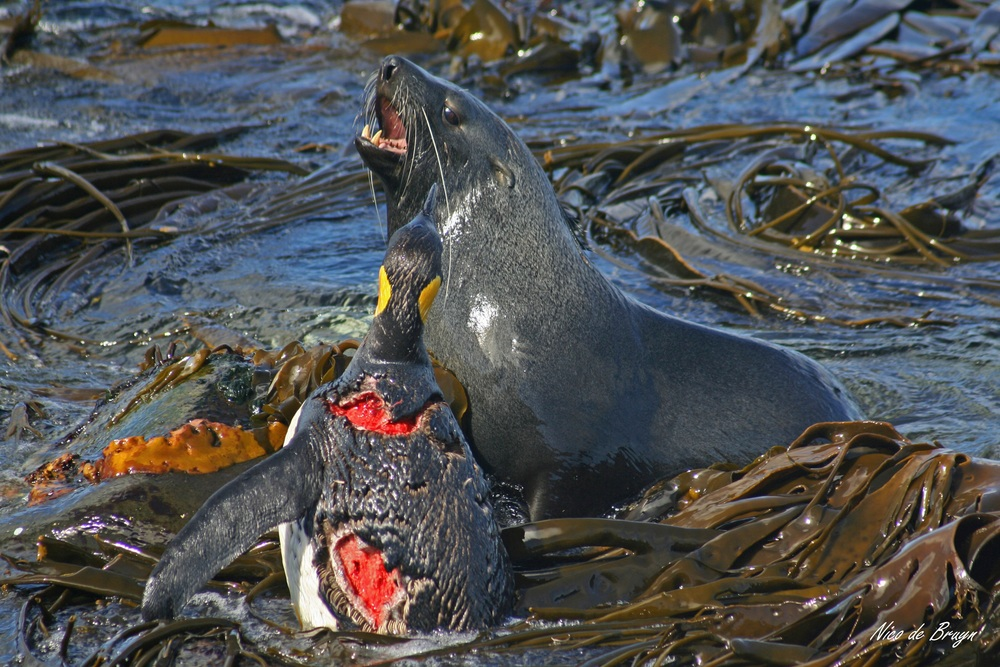 Antarctic fur seals at Marion Island occasionally hunt penguins. Photo: Nico de Bruyn
