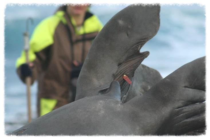 Reading plastic identification flipper tags as part of the elephant seal demographic study. Photo: Nico de Bruyn