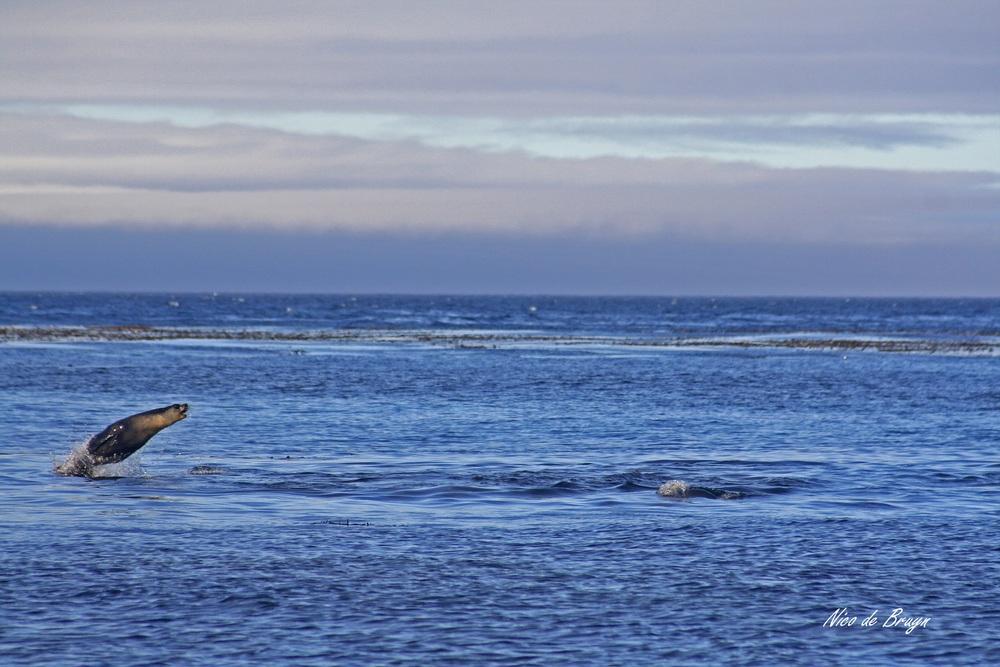Oceans (2) Jumping seal.jpg