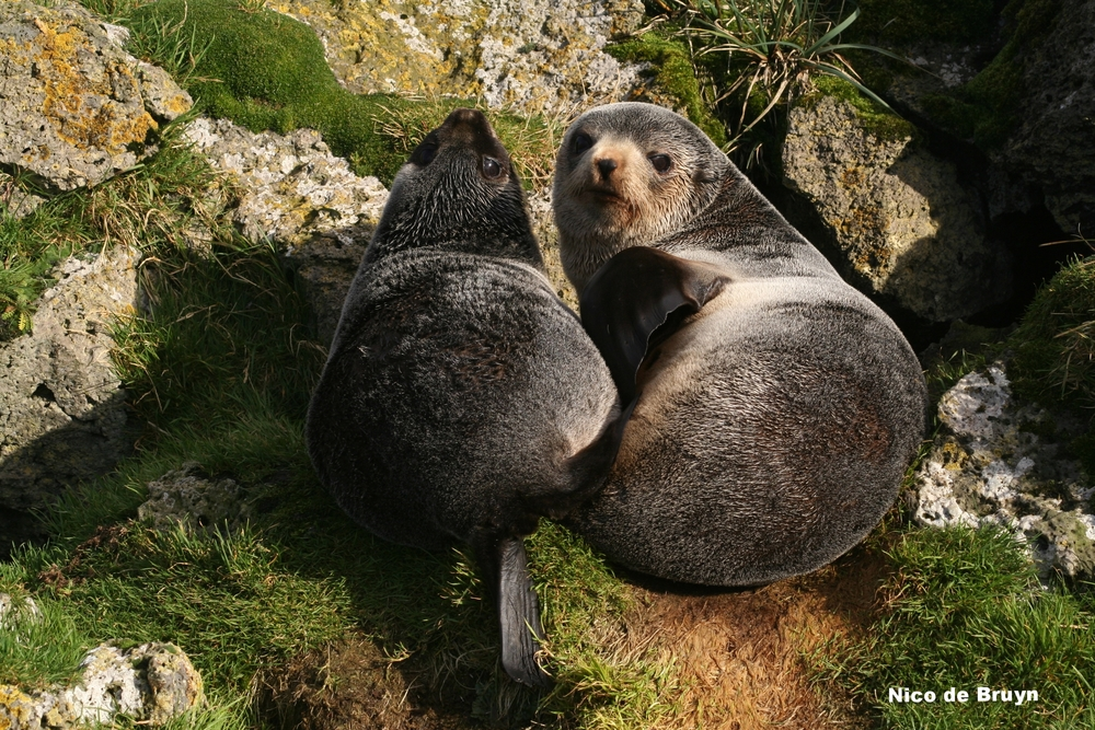 Subantarctic fur seal mother and pup. Photo: Nico de Bruyn