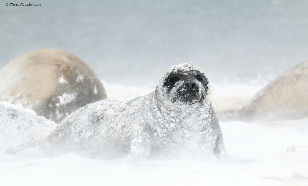 Baby southern elephant seal in a snowstorm, King George Island, South Shetlands. Photo: Chris Oosthuizen
