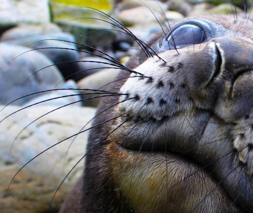 Juvenile southern elephant seals Mirounga leonina from Marion Island. Photo credit Nico Lubcker