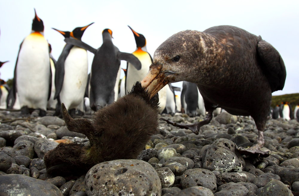 """ Stinkpot special: Penguin a la King "" by Chris Oosthuizen, winner of the Dynamic Ecosystems category within the BES 2018 photographic competition."