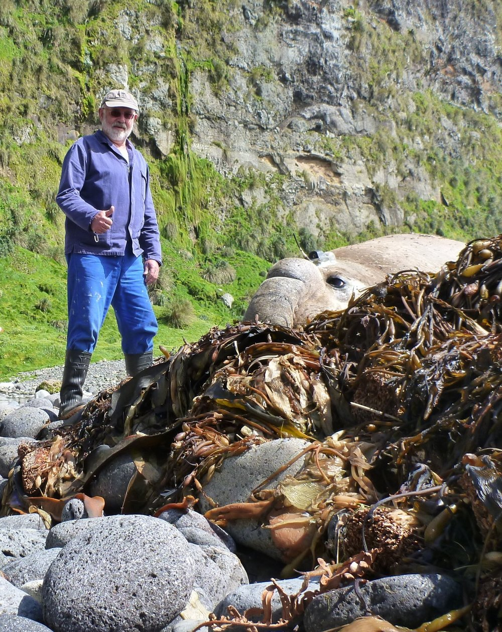 Prof Marthan Bester pleased with another successful tracking device deployment on a southern elephant seal bull at Gough Island in 2015. Photo: Nico de Bruyn