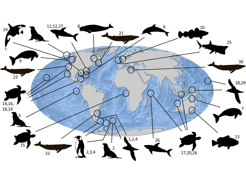 """ Widespread Use of Marine Animal Tracking Data for Conservation Policy or Management. Tracking data are used in many ways to help species conservation, including being used to help designate protected area boundaries, to reduce bycatch, minimize vessel strikes, assess abundance, and quantify demographic parameters such as mortality rates. ""  Hays et al. (2019) Trends in Ecology & Evolution"