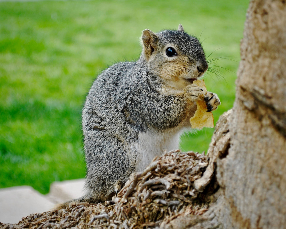 A CSUN Squirrel calmly devours a mid-afternoon snack. (Photo Credit: Brian Andrade)