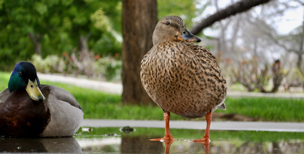 Two ducks look on. They can often be seen around the pond waiting for students to feed them. (Photo Credit: Brian Andrade)