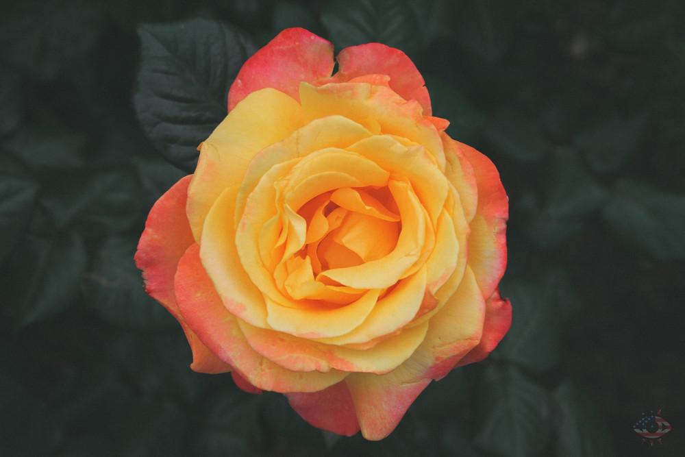01_Portland_Roses-19.jpg