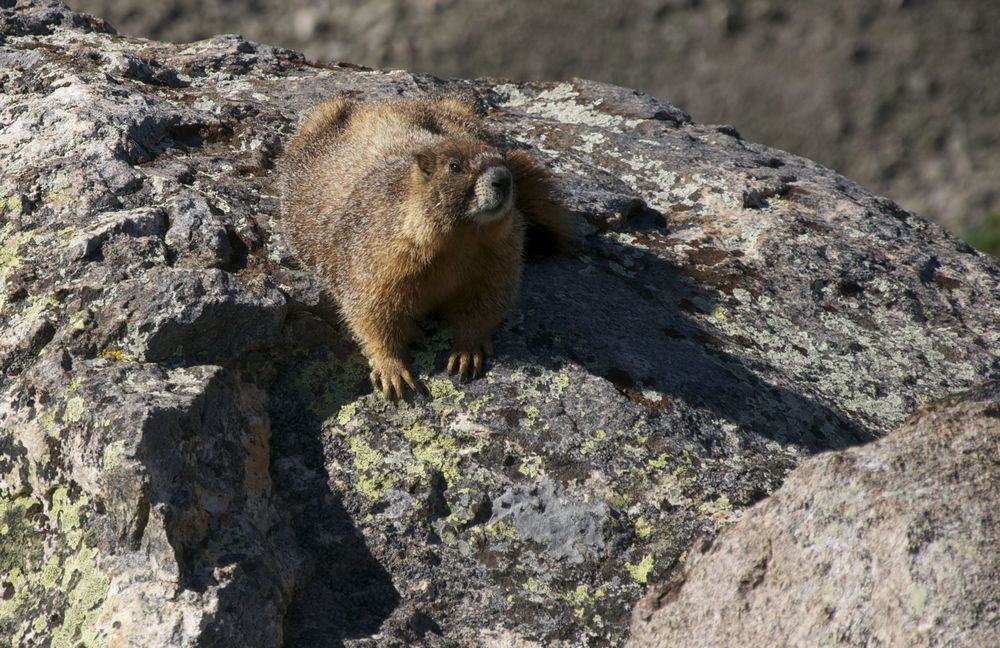 A 'Yella' Bellied Marmot sunning in the Alpine zone.