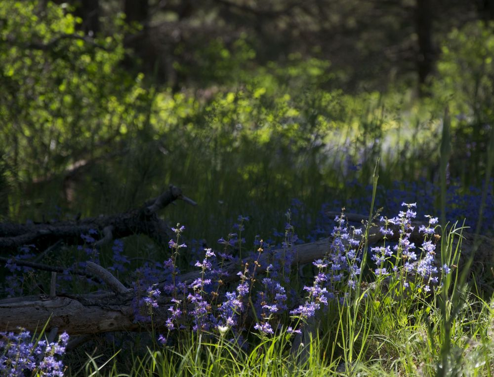 Mountain Bluebells find the sun on Mesa Trail
