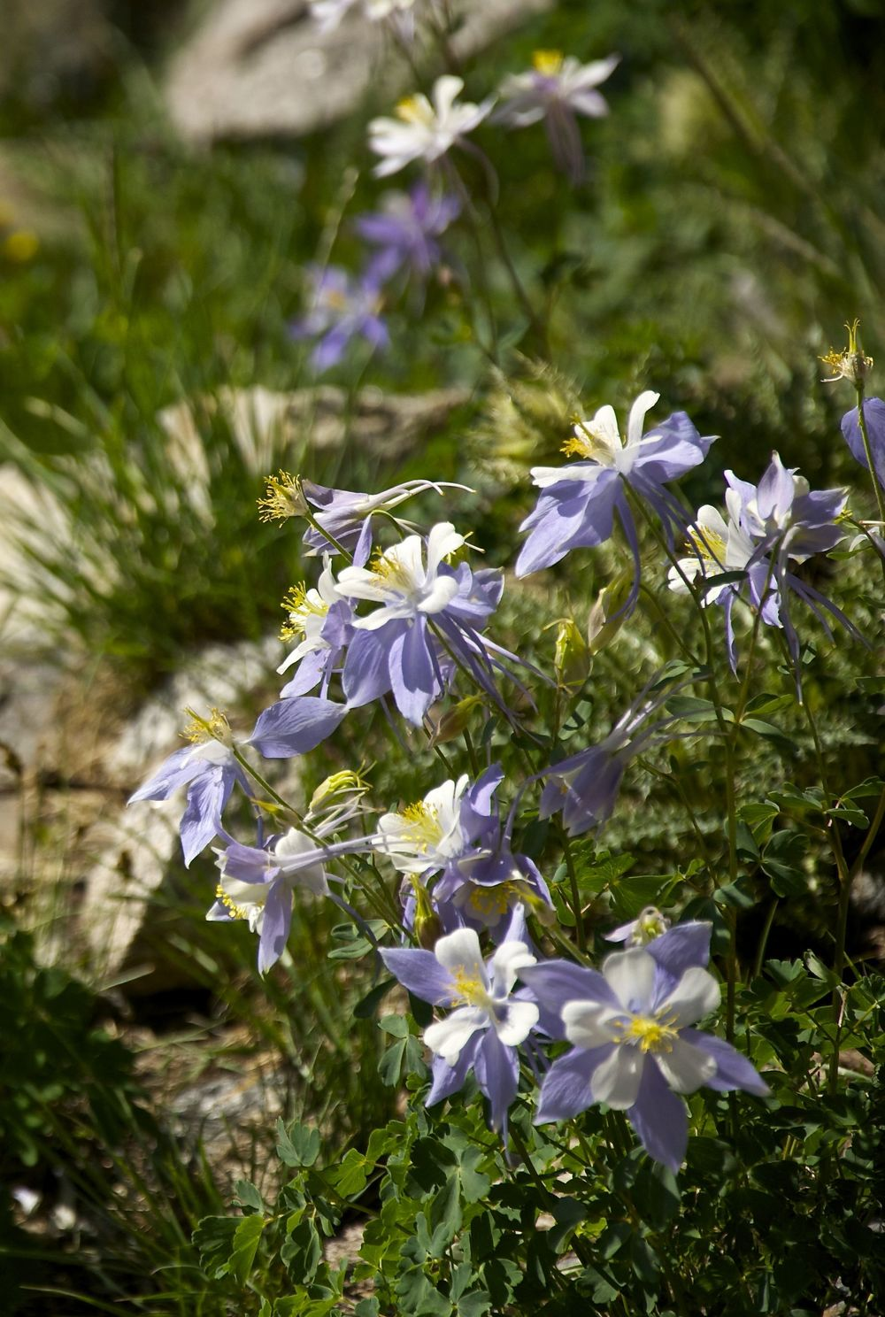 Columbine on Chasm Lake Trail