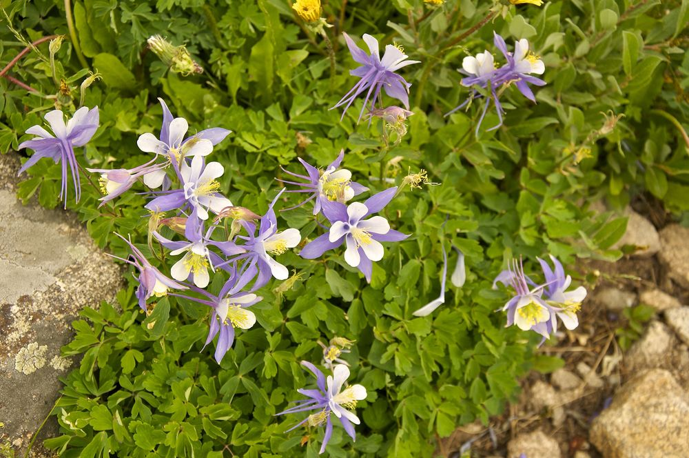 Columbine on Mt. Audubon Trail