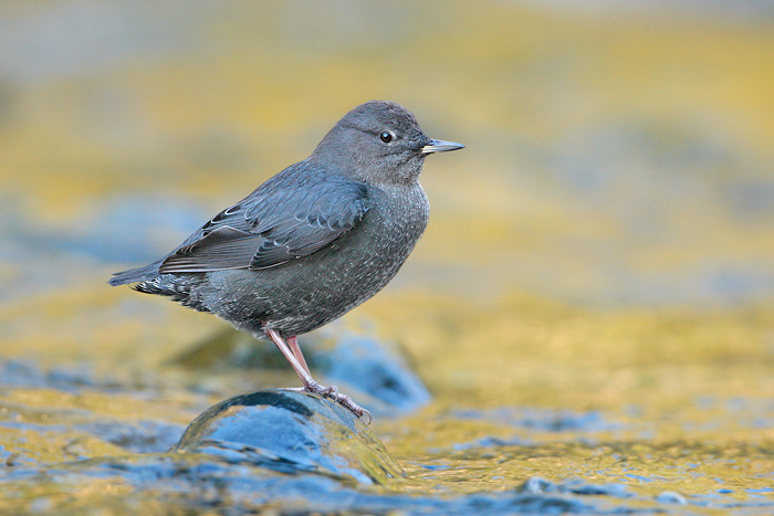 American Dipper, or Ouzel - photo not by author