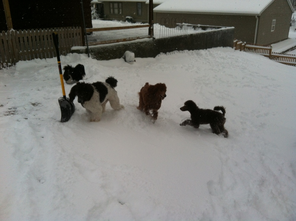 Yes!  Poodles love the snow!