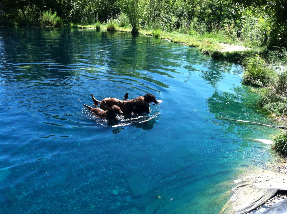 Did you know that Poodles have webbed feet for swimming!  That's a fact, the breed was designed to retrieve water fowl!