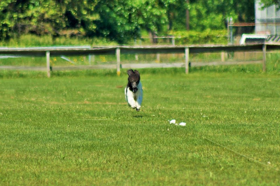 Indigo Lure Coursing