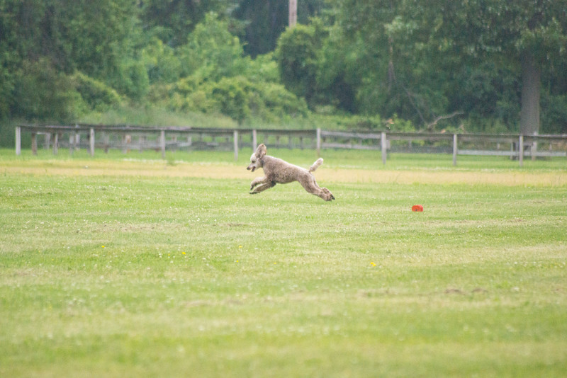 Roux lure coursing.jpg