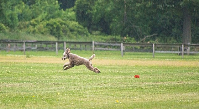 Roux Lure Coursing!