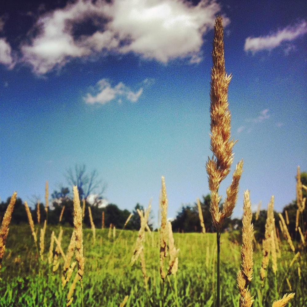 Grasses towering high at Crow-Hassan in Rogers, MN