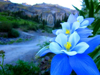 Colorado Columbine blooming near the treacherous road to Yankee Boy Basin.