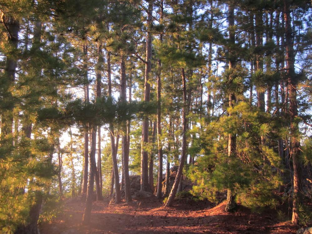 BWCA Forest